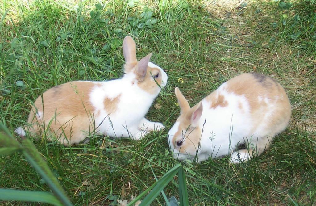 Bärenklau Kaninchen