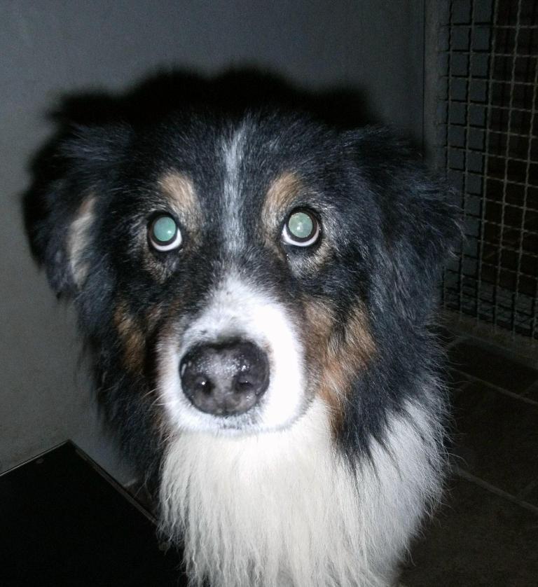 Tierheim Australian Shepherd